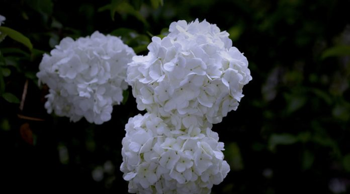 The Myth behind Hydrangea