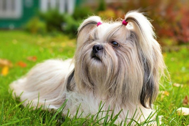 Top 10 Lists of Wonderful Dog Breeds in China