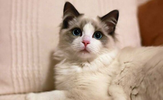 The 8 Most Popular Cat Breeds in China
